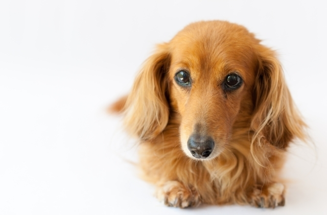 Image result for 犬 Dachshund 不思議な