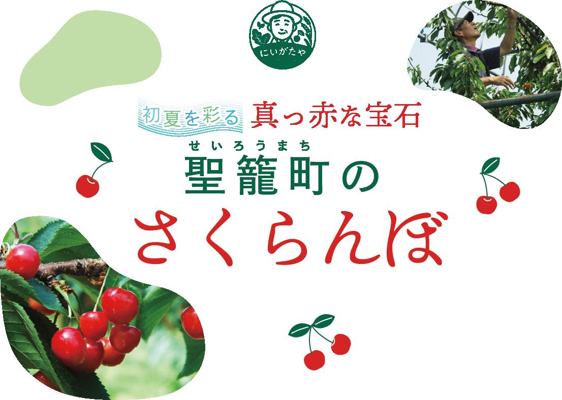 初夏を彩る真っ赤な宝石 聖籠町(せいろうまち)のさくらんぼ